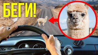 Если вам встретится милая альпака, держитесь от нее подальше (а также список других опасных милашек)