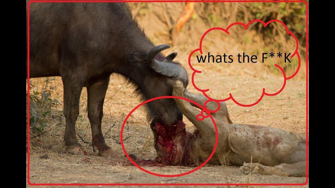 animal fighting top 5 buffalo kills lion to death newest 2016