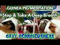 """Stop & Take A Deep Breath"" GUINEA PIG MEDITATION #6 Vivaldi Relaxing & Soothing AIR"