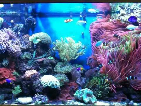 enchanted aquarium clownfish and