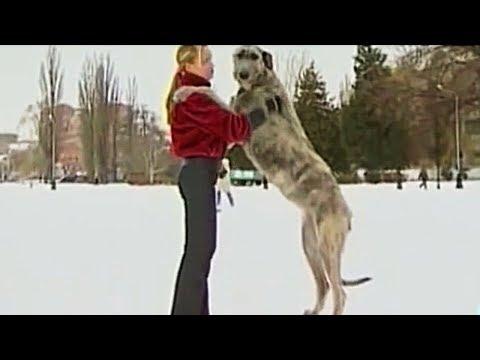Большие породы собак. Чем больше – тем лучше?