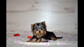 Самый маленький йорк! Девочка супер мини размера. Очень милый щенок.
