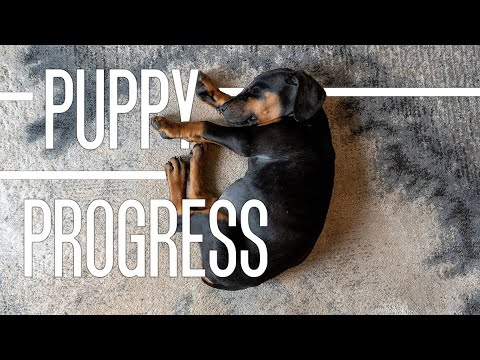 Doberman Puppy Obedience Training and Weight Progression! Week 7 to Week 9 Dog Vlog*