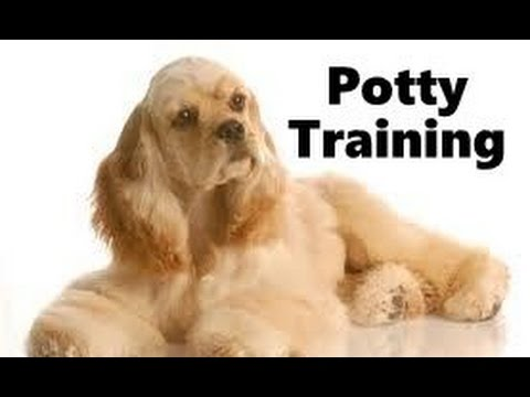 How To Potty Train Er Spaniel Puppy