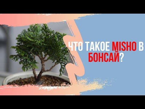 Что такое Misho и когда дерево превращается в бонсай?