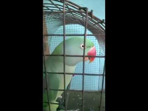talking parrot(Alexandrine). Mitthu  saying Radhey Radhey