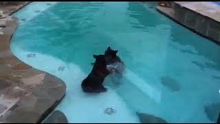 Two Bears Swimming In Pool And Playing In Our Backyard