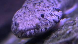 Endlicheri Bichir (Polypterus Endlicheri Endlicheri) - (February 7, 2012)