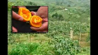 Exguerrilleros de las FARC en Cauca ahora cosechan tomate de árbol