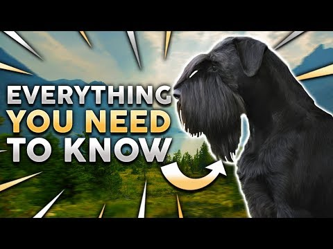 GIANT SCHNAUZER 101! Everything You Need To Know About Owning a Giant Schnauzer Puppy!