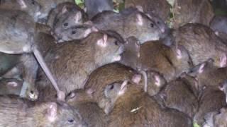 Как избавиться от крыс.Как избавиться от крыс в доме