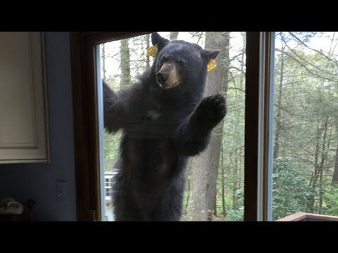 Bears: Big black bear looking for brownies; Bear snaps hiker's arm - Compilation