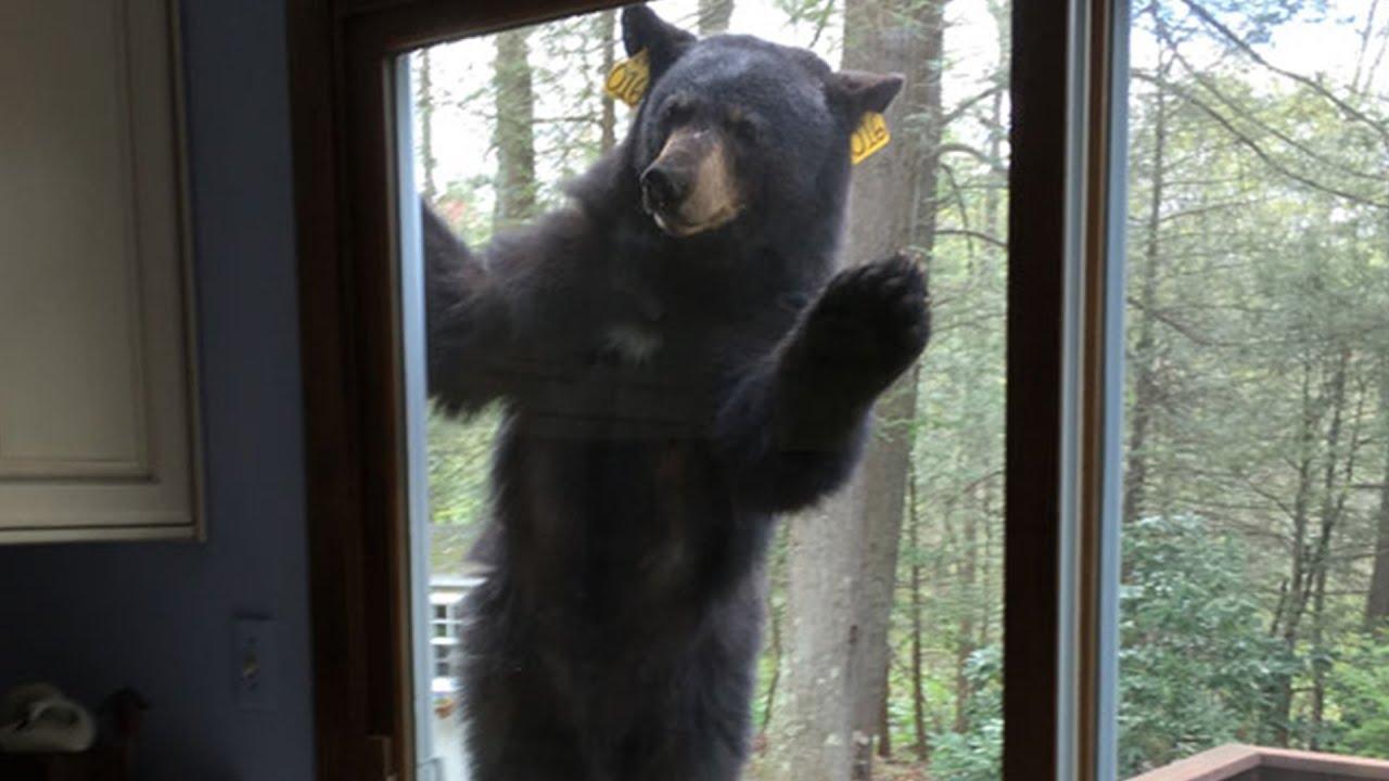 Bears Big Black Bear Looking For Brownies Bear Snaps