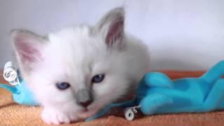 Игривые котята (питомник кошек marikota.com)