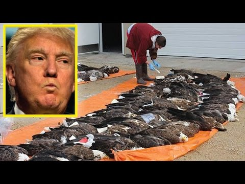 OH MY GOD! AFTER OBAMA GAVE KILL ORDER FOR BALD EAGLES, LOOK WHAT TRUMP DID TO SAVE THEM!