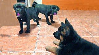 Как Щенок Немецкой овчарки Кане Корса усмирил. Meeting German Shepherd puppy and Cane Corso.