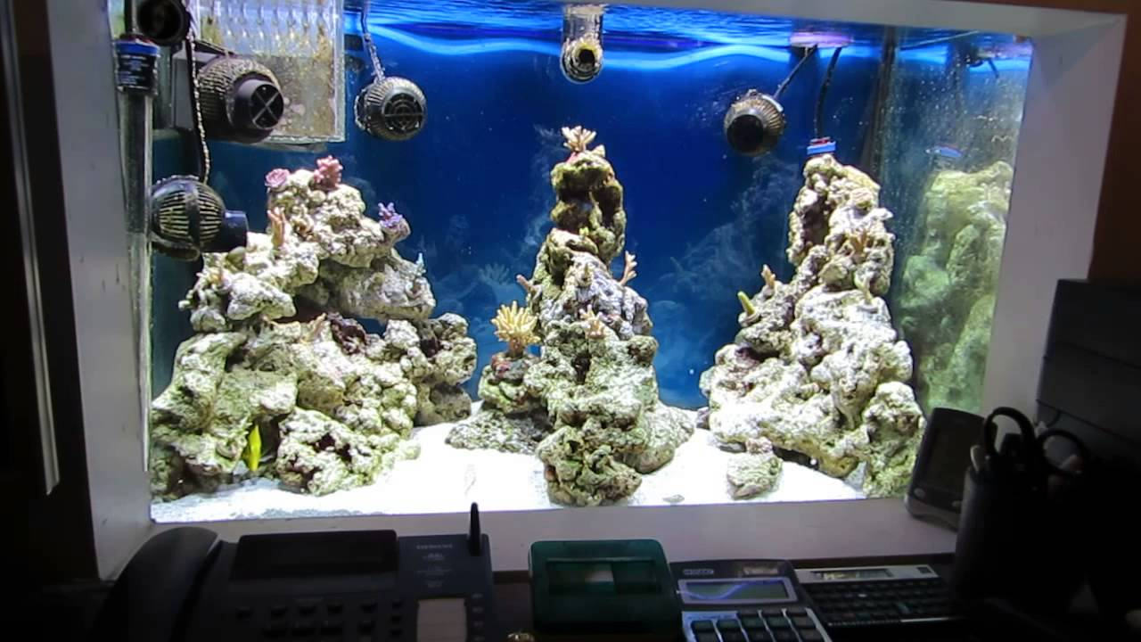 Fish tank for the office - Wally B S Reef Aquarium 65 Gal Office Tank Sps Corals Only Featuring A Sand Shifting Golby