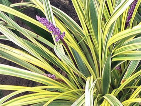 Dressing Up Your Garden With Liriope Youtube
