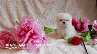 Maltese dog(мальтезе)