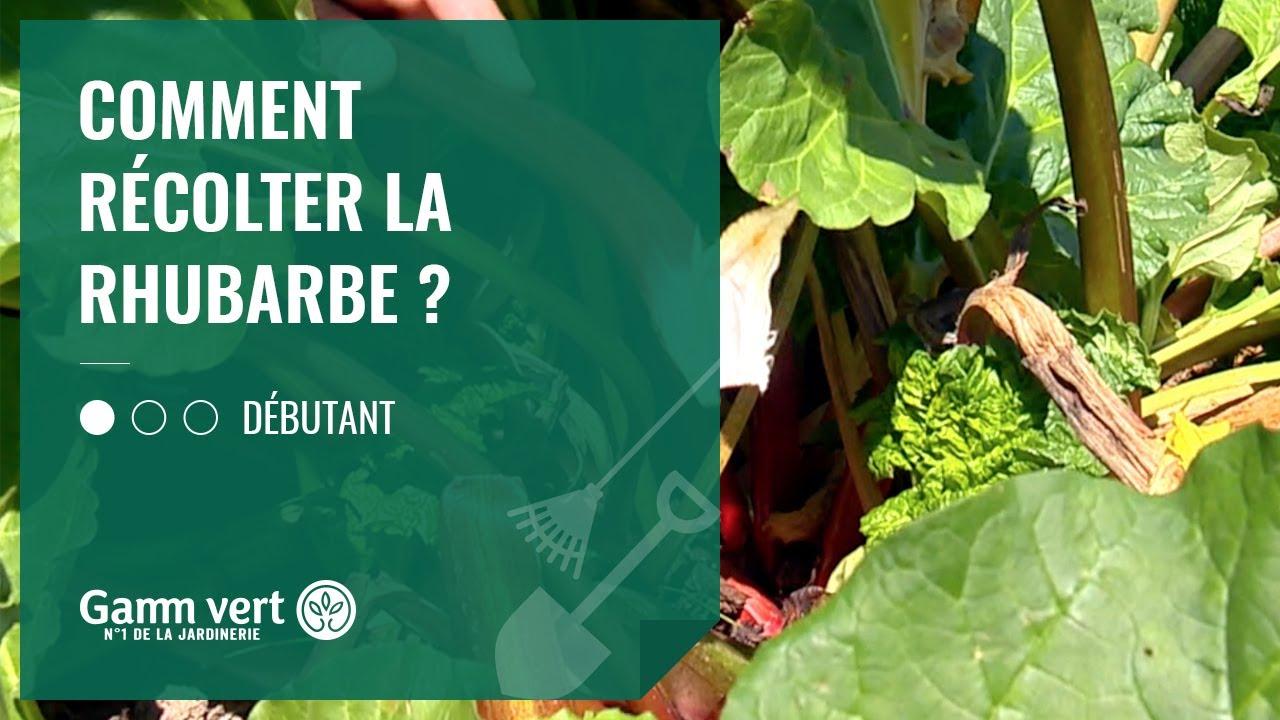 Culture Et Entretien De La Rhubarbe [tuto] comment récolter ma rhubarbe ? - jardinerie gamm vert