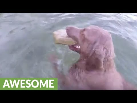 Retriever dives underwater for large sized rocks