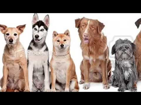 Purebred vs mutts(dogs)