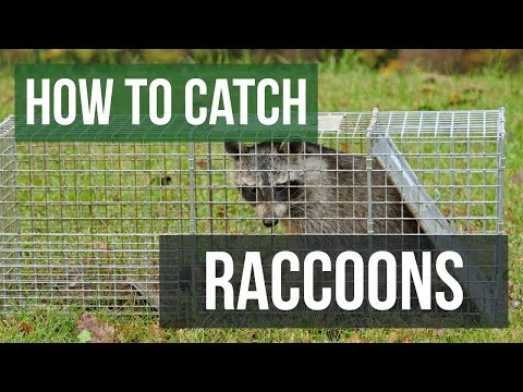 How To Catch A Raccoon With A Live Animal Trap