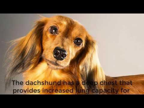 DACHSHUND DOG FACT