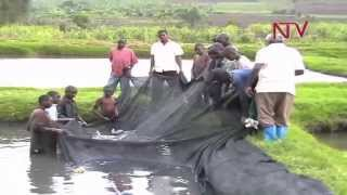On the Farm: Earning from fish farming