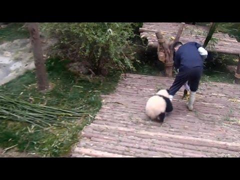 Clingy panda cub won't let nanny go!