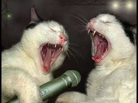 Cat Song, Funny Cats Present:  Meow Meow Song  By SINGING CATS