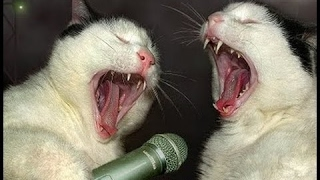 """Cat Song, Funny cats present: """" Meow Meow Song """" by SINGING CATS"""