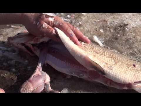 Засолка речной рыбы рецепт