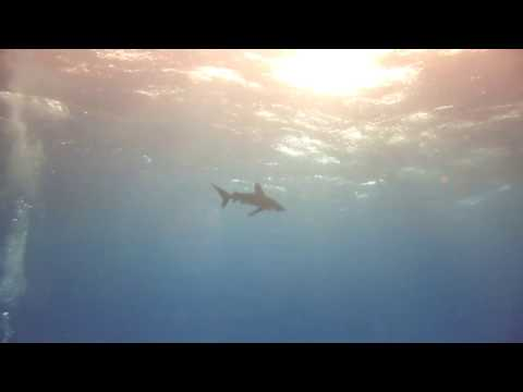 Oceanic White Tips - Southern Red Sea 2016