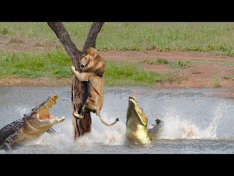 Download Crocodile Terrible Nightmare Of The Animal World - Crocodile Too Dangerous - Crocodile, Lion, Hippo