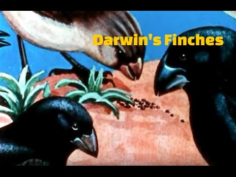 Darwin's Voyage To The Galapagos Islands - Darwin's Finches