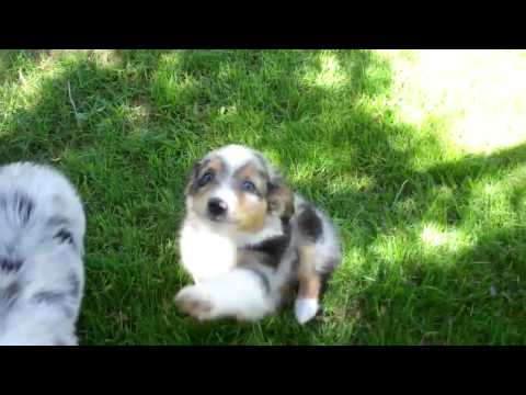 Toy/Mini Aussies from Tug@YurHart in CO