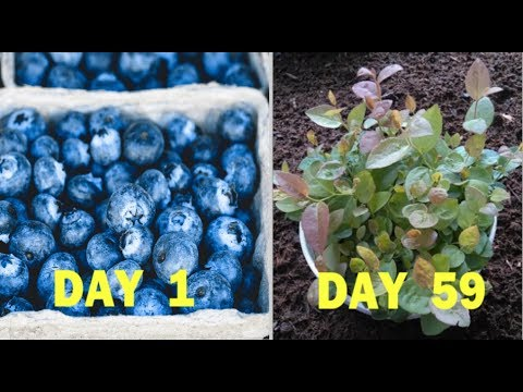 How To Grow Blueberries From Seeds Of Blueberry (Quick Method)
