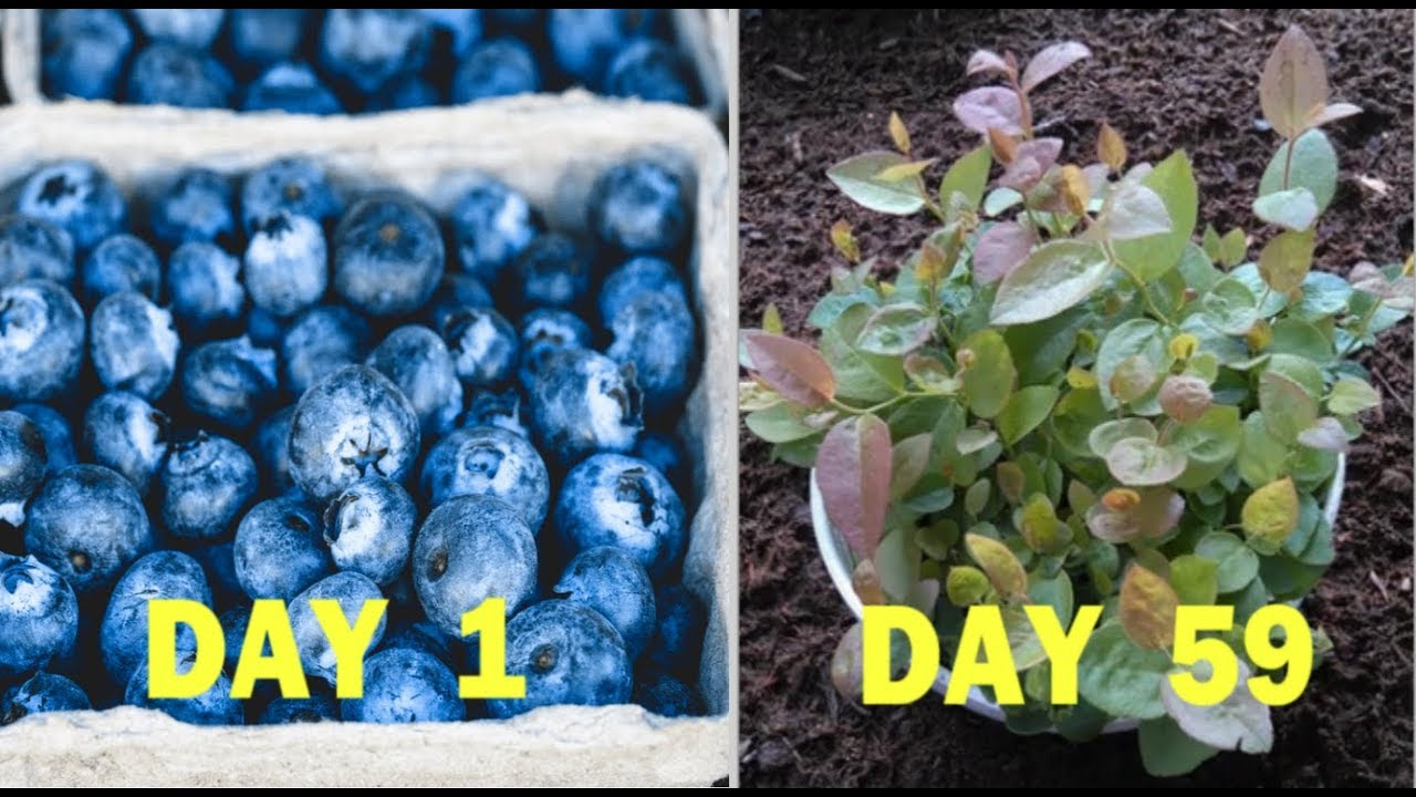 How To Grow Blueberries From Seeds Of Blueberry Quick Method Youtube