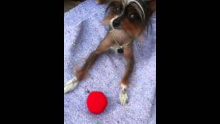Cute Hairless Vegan Dog Plays with Toy Tomato and Turds: Crazy Vegan Pet Tricks