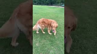 Difference between two golden retrievers...
