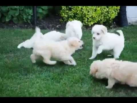 Eskipoo Puppies For You