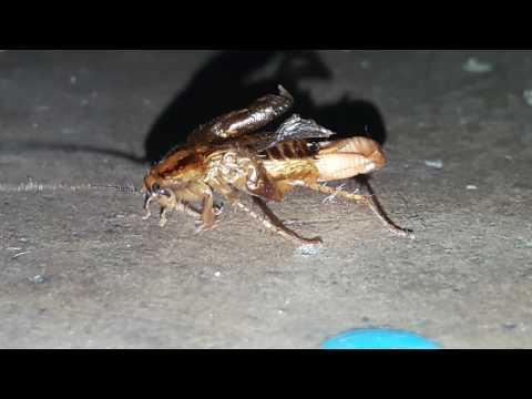 Таракан рожает!