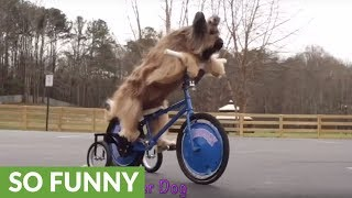 Famous scooter-riding dog shows off array of tricks