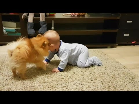 Dogs Babysitting Babies 👶🐶💕 Dogs Love Babies [Funny Pets]