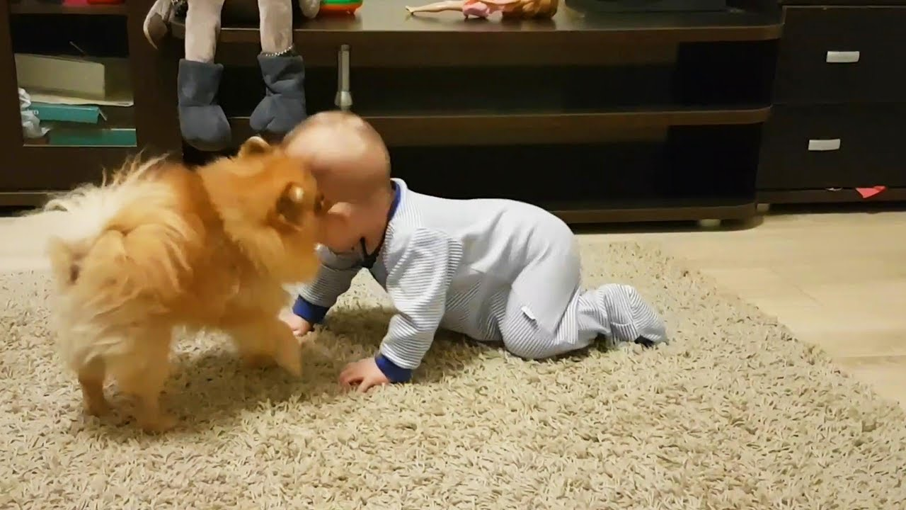 dogs babysitting babies dogs love babies funny pets youtube