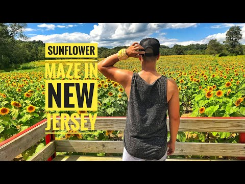 Sunflower Maze in Sussex County New Jersey