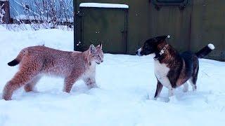 ДВЕ РЫСИ И СОБАКА. Веселая прогулка с большими кошками :)