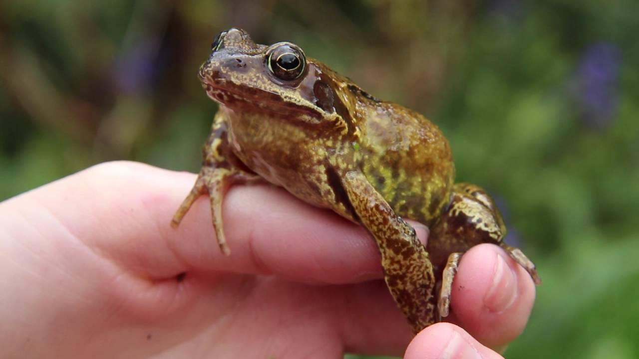 Freshwater Habitats Trust How to Videos – Common Frog ...