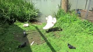 Лебеди в минском зоопарке.(, 2014-07-23T16:20:25.000Z)